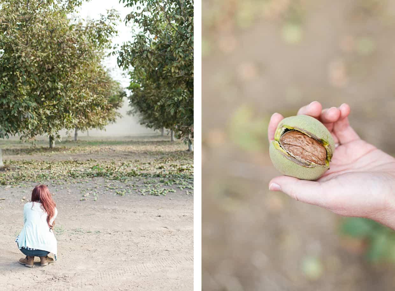 Walnut Harvest Orchard