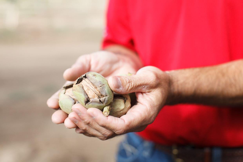 Walnut Hands