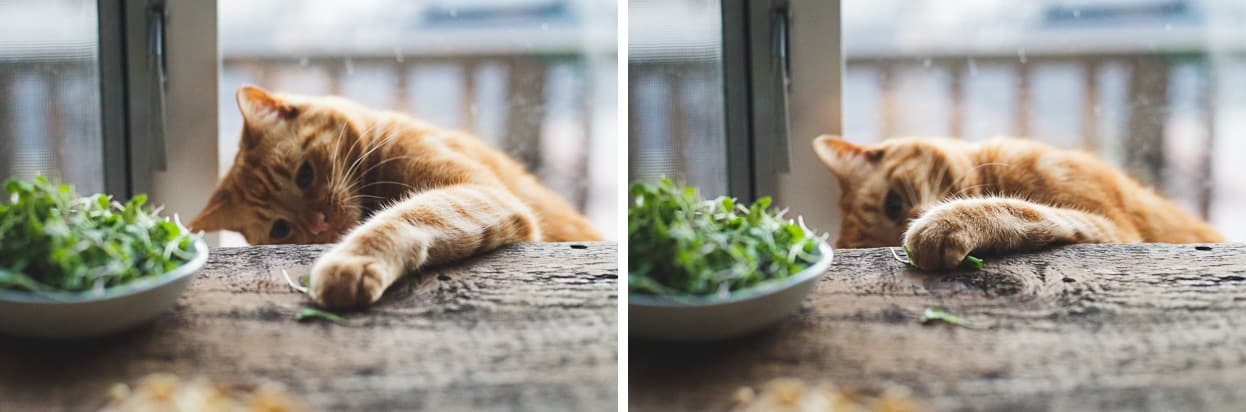 Cat Eats Arugula