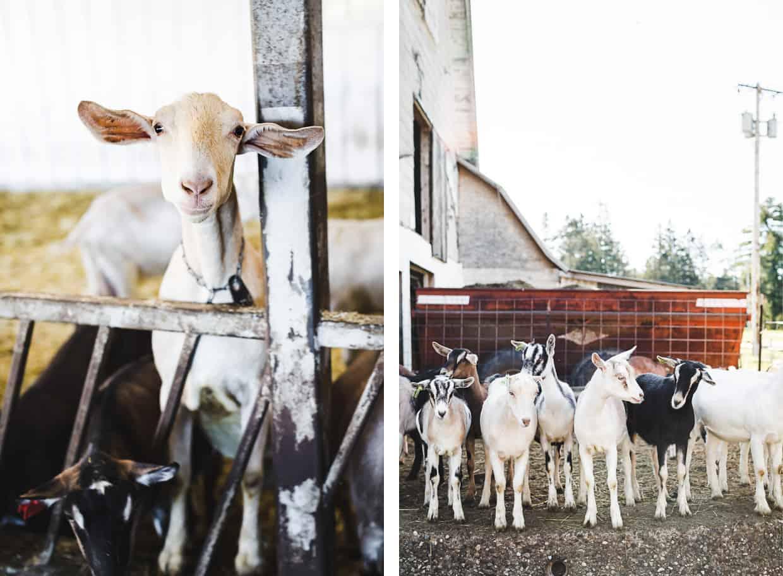 Vermont Creamery Goats
